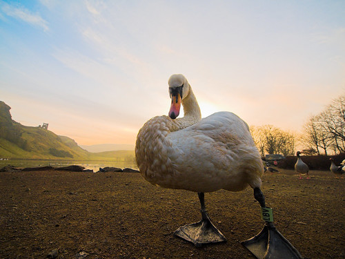 One of Her Majestys swans in a regal pose with St Anthonys Chapel in the background.