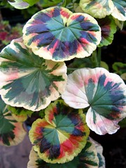 Geranium? (joeysplanting) Tags: foliage geranium pelargonium geraniaceae
