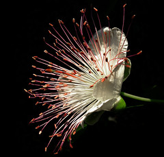 Flower of Caper (Istrice1) Tags: flowers italy flower color nature photoshop colore natura casio fiori brescia caper adf millefiori blueribbonwinner cappero macromarvels istrice1 armandodomenicoferrari armandodomenicoferrariphotographer armandoferrarifotografo armandodomenicoferrarifotografo