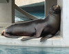 Sleeping Sea Lion  - Tulsa Zoo