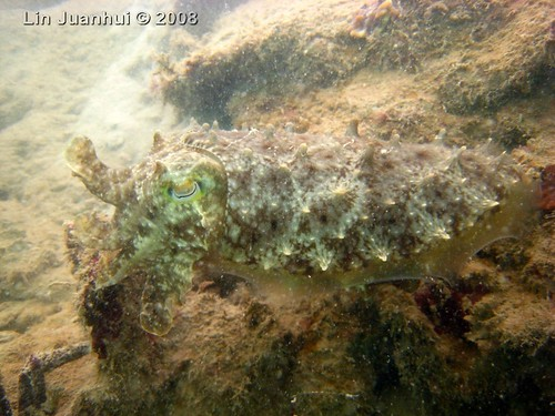 IMG_4158 cuttlefish