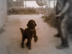 Max (*Tom [luckytom] ) Tags: dog black max cane tom interestingness mostinteresting davide nero calcio gioca palla ctm barbet favcol giocano uecca luckytom