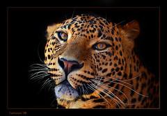 Un tranquilo Leopardo