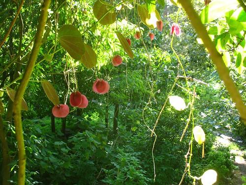 Passiflora membranacea