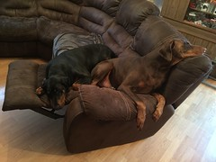 So This Is What Recliners Are For - Dobermann Pinschers Zeus and Gabbana (firehouse.ie) Tags: tan black brown red canine female male gabbana zeus k9 pinschers pinscher dobermans doberman dobermanns dobermann dobeys dobey dobies dobie dobes dobe dogs dog