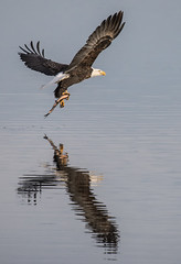 Eagle Fishing (Jan Crites) Tags: iowa leclaire nature river mississippiriver lockanddam14 eagle baldeagle americanbaldeagle raptor jancritesphotography february