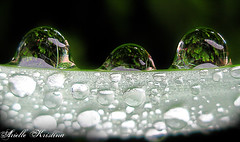 Tres Amigos | Three Friends (*Arielle*) Tags: nature water rain droplets drop daffodil arielle ariellekristina