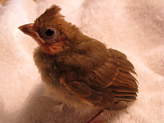 macro bird animal canon cardinal fledgling rehabilitation rehabber