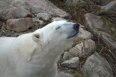 Smelling the air (realblades) Tags: summer white water zoo polarbear d40 ranua jkarhu 55200mmf456gvr