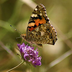 "COME ""FLY"" WITH ME ( goraiapick ) Tags: nature fly butterflies flies paintedlady vanessacardui naturesfinest mywinners abigfave cameradeourobrasil freenature"