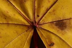 _MG_6648 (pgi) Tags: italia giallo foglia autunno trentino acero secco secca falesina