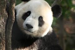 Tai Shan 7 (bearlycivilian) Tags: pandas taishan