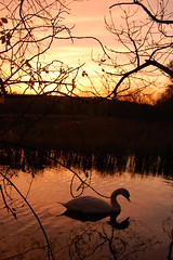golden swan (Paul Reid 1975 (back exposing and with new PC)) Tags: trees sunset nature water scotland swan nikon boness cokin smorgasboard 10faves 25faves mywinners centralregion nikond40 diamondclassphotographer flickrdiamond excellentphotographerawards kinneilpond
