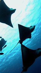 School of Spotted Eagle Ray, Saipan (_takau99) Tags: ocean trip travel november school sea vacation holiday fish uw nature water topv111 island lumix islands topv555 topv333 marine asia ray underwater stingray wildlife topv1111 topv999 topv444 dive scuba diving topv222 panasonic explore pacificocean icecream tropical scubadiving topv777 topv666 topf10 topf15 mariana 2007 saipan eagleray topv888 topf5 topf20 cnmi spottedeagleray fx30 takau99 myliobatidae top20fish explore100 top20fish20 dmcfx30 northernmariana wondersea