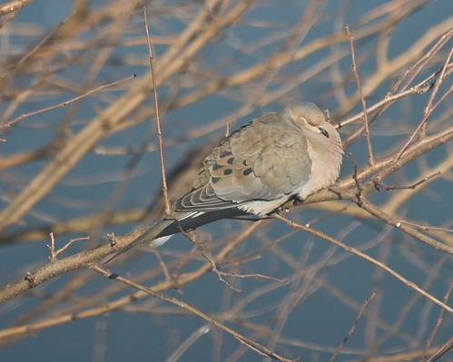 Napping Mourning Dove