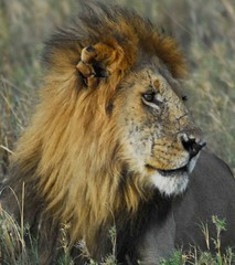 Battle scars (wanderlust 2007) Tags: africa animals mammal kenya wildlife lion safari masaimara