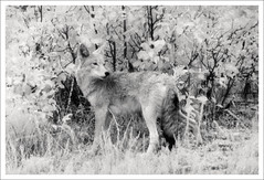 prettiness (cassandi) Tags: coyote by colorado with x d76 infrared prettiness rockymountainnationalpark nikonn90s kodakhie 8x12print orientalvc sandiwright cassandrawright