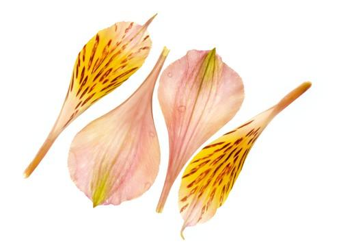 Alstromeria Petals