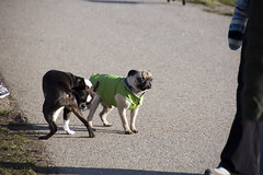 Wedge and a Boston Terrier
