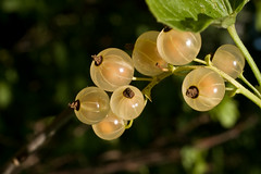 White currant *   * Grosella * Ribes * Groselha * Groseille * Johannisbeeren (v.plessky) Tags: red summer macro home nature beautiful juicy berry raw berries russia vivid sigma loveit dynax7d maxxum7d fabulous jpeg beere baga 2007 baie bago bacca currant konicaminolta johannisbeeren ribes    alr  sigmalens  groselha  vob groseille flickrsbest konicaminoltadynax7d whitecurrant grosella  rotejohannisbeeren rawjpeg aplusphoto sigma50mmf28exdg juicyberries  sigmaexdg vadimplessky theperfectphotographer 50mmf28exdg     natureselegantshots       gatherberries recogerbayas groseillerouge 100commentgroup