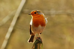 Robin Red Breast 1 by michl_007