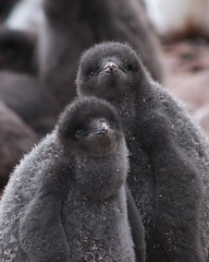 Ugly Cute (20080113_0048) (GlobalGoebel) Tags: travel baby cute nature up animal animals closeup penguin penguins close antarctica chick ugly naturesfinest adelie