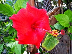 Red Hibiscus2