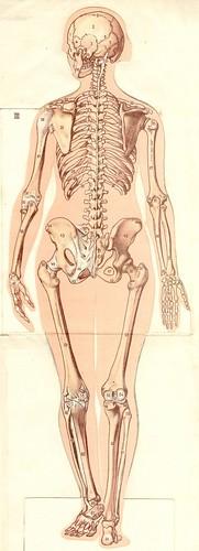 anatom37 3