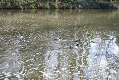 CrossFlats To Bingley Then To Saitaire (62) (Richard Brown AKA Ricbro85) Tags: uk sea people cars birds walking canal bradford unitedkingdom yorkshire ducks places rivers powers bites bd westyorkshire bingley mindmeld crossflats saitaire