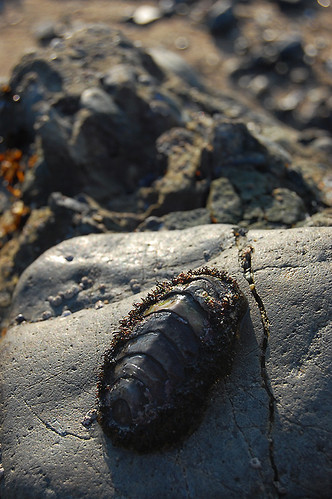 Chitons From Tidal Pool by Pigoen Point