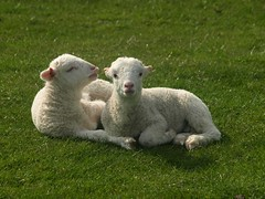 Do they Really Make us into Lamb Chops (saxonfenken) Tags: england motif animal sheep explore superhero april lambs unam thumbsup 2008 soe cambridgeshire wimpolehall e510 517 naturesfinest twothumbsup bigmomma gamewinner infinestyle platinumheartaward a3b goldstaraward friendlychallenges beautifulworldchallenges thechallengefactory fotocompetition vanagram fotocompetitionbronze thumbsupwrestling tuw112 agcg yourockwinner gamex2winner storybookwinner gamex3winner pregamesweepwinner gamex3gamex2vsgamex2winners gamex2gamevsgamewinners pregamebirthdayspecial pregameduelwinner 517animal