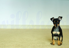puppy san (Willshoot) Tags: dog miniature explore minpin pinscher bens kako nikonstunninggallery tenandten