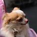 チワワ:Chihuahua_09