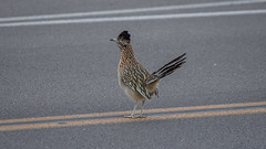 Roadrunners Do Run On Roads! (Jeffrey Sullivan) Tags: death valley national park california usa nature landscape travel photography canon eos 6d jeff sullivan photo copyright february 2017