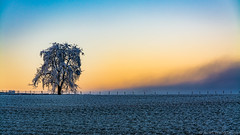 one lost tree (alain.winterberger) Tags: arbre arbres tree trees sunset leverdesoleil lever soleil paysage romandie echallens poliezpittet nikon nikonpassion nature couleur bfv200
