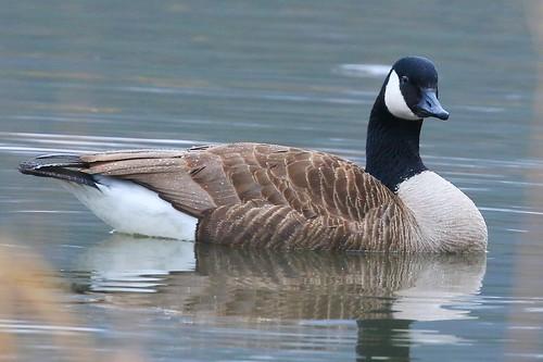 Canada goose at Decorah Fish Hatchery IA 854A7232