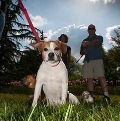 Mothers Day- brown and white dog with friends #1 5-2011-2 (tom faulkner photographs) Tags: usa dog dogs puppy pug boxer leash faulkner risd mothersday atom sherwoodgardens baltimoremaryland brownandwhitedog tomfaulknerphotographs