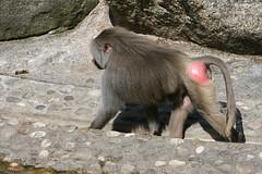 Mantelpavianmännchen