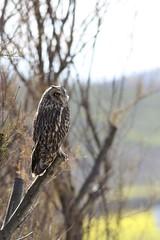 Búho campestre - Short-eared owl - Asio flammeus (_kamon_) Tags: bird wildlife ave birdwatching shortearedowl asioflammeus canonef40056l búhocampestre