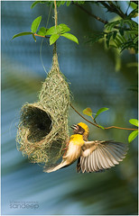 Tough work... (Sandeep Somasekharan) Tags: building yellow spread wings construction nest action swinging care build nestbuilding weaverbird bayaweaver ploceusphillippinus hangingnest helmetstage sandyclix