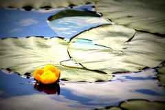 (DaughterSharky Photography) Tags: flower water reflections pond waterlily lily reflexions warwickshire countrypark coombeabbey