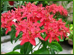 Gorgeous blooms of Carphalea kirondron, shot Oct 2007