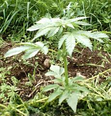 Marihuana011 (foto.mjuana) Tags: marihuana mjuana