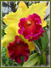 Blc. Ablaze Medal 'U Emperor' (Brassolaeliocattleya hybrid) at our backyard