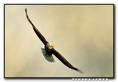 Live Free or DIE (Nikographer [Jon]) Tags: bird birds animal animals fly inflight md nikon october eagle wildlife oct baldeagle bald maryland easternshore national d200 blackwater haliaeetusleucocephalus soar 2007 refuge livefreeordie nationalwildliferefuge nwr haliaeetus leucocephalus nikographer specanimal marylandseasternshore blackwaterrefuge blackwaternationalwildliferefuge bnwr fav22007 20071028d200108452 jss20081 imagesforblog1