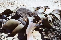 Welwitschea mirabilis