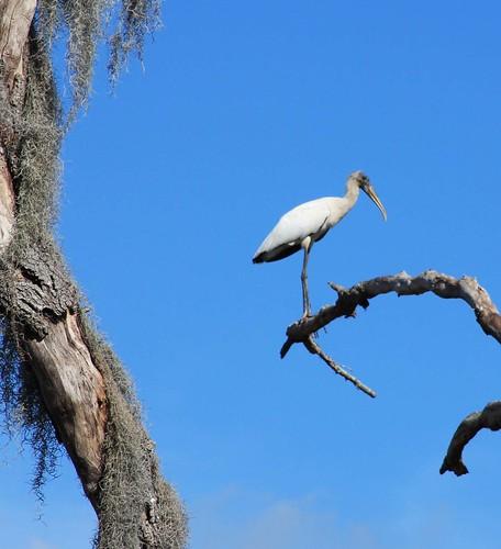 stork close up 1