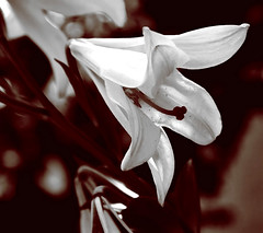 White dove (enkartist) Tags: vermell blanc flors lillium 10faves desaturada enkartist theperfectphotographer rescatantrecords