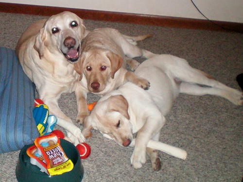 yellow labs - Christmas