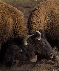 American Bison - Bison bison (ER Post) Tags: park west landscape photo image national yellowstone wyoming teton bison